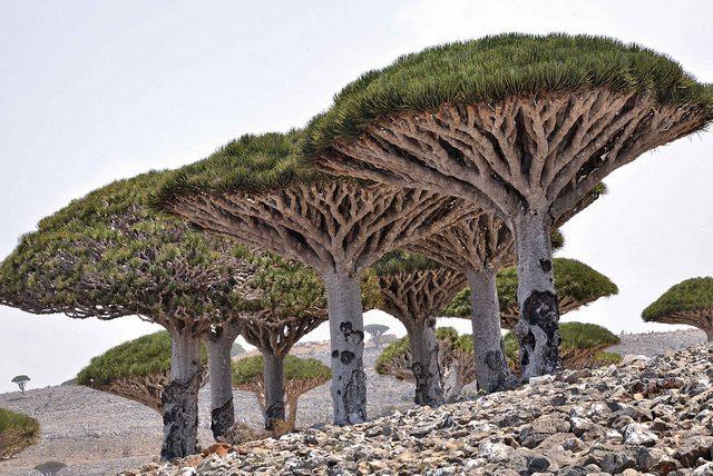 ソコトラ島-竜血樹