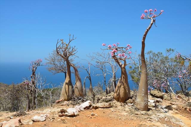 ソコトラ島の画像 p1_32