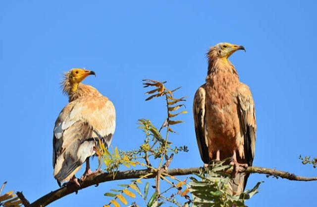 ソコトラ島-鳥